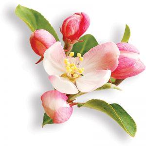 фото цветение яблони