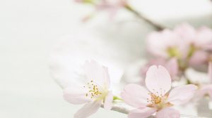 фото фон яблоневый цвет