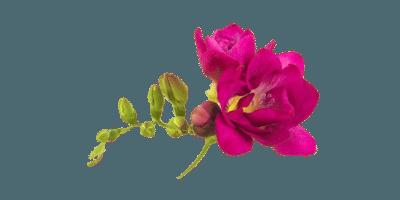 цвет пион