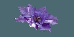 цвет фиалка maxi